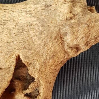 Cut marks at the base of this cow horn show evidence for skinning.