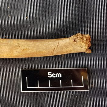 Hack marks visible on this rib bone suggest that the animals were being dismembered.