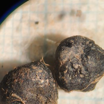 Charred peas from the palaeoenvironmental assemblage. © Copyright ARS Ltd 2020