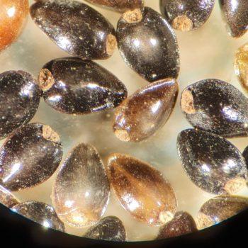 Myosotis scorpiodes - Water Forget-me-not. © Copyright ARS Ltd 2020